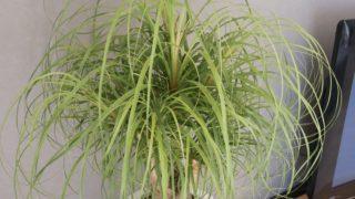 観葉植物トックリラン