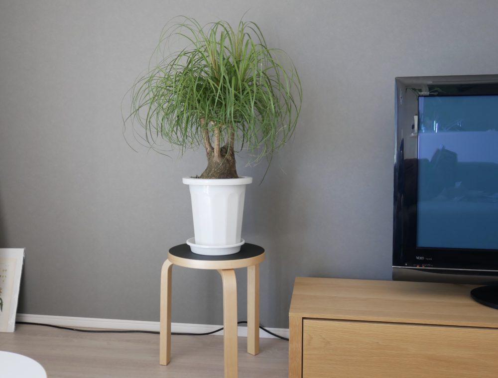 トックリラン観葉植物